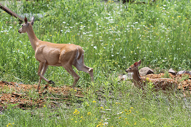 mama-and-fawn