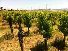 Plantings of Petite Sirah at Stag's Leap