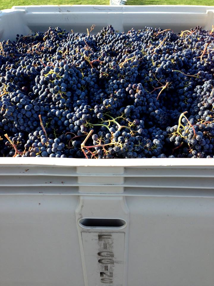 Harvest at the Figgins Estate Vineyard in Walla Walla