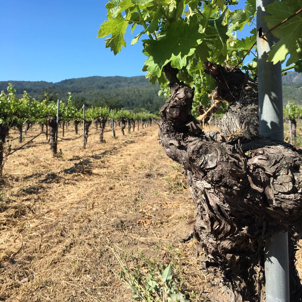 I think this is just a beautiful picture of the old, gnarled vines at the Kronos Vineyard, one of the great vineyards in Napa Valley.