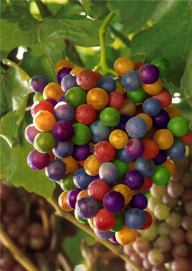 Finca Sandoval Bobal grapes.jpg
