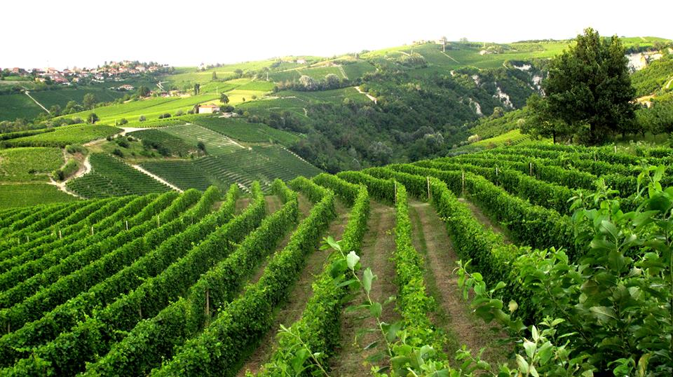 The insanely gorgeous vineyards at the Pietro Rinaldi estate in Piedmont, Italia