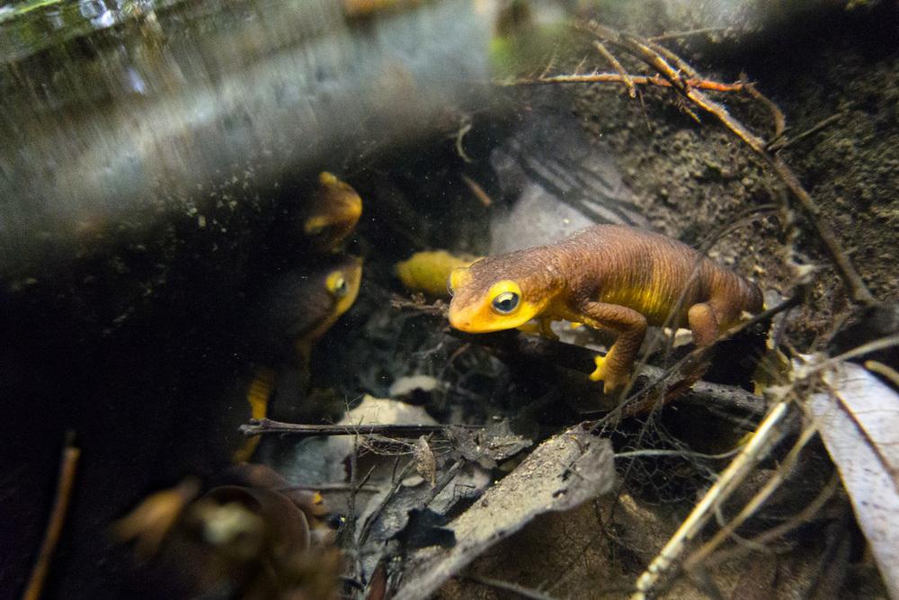 Salamander001.jpg
