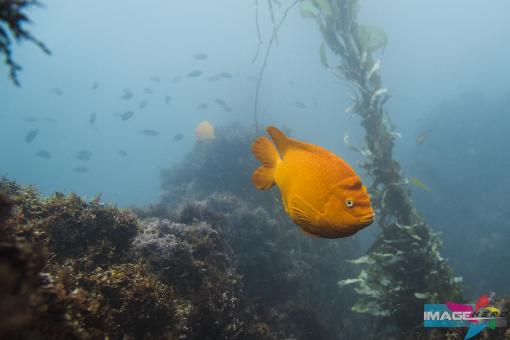 A California Garibaldi.  Photograph by Jonathen E. Davis, Image Hero Shot with: Sony Alpha A7s at 1/320 sec f/5.6 ISO1250 24mm with Sony FE 24-70 F/4 Zeiss