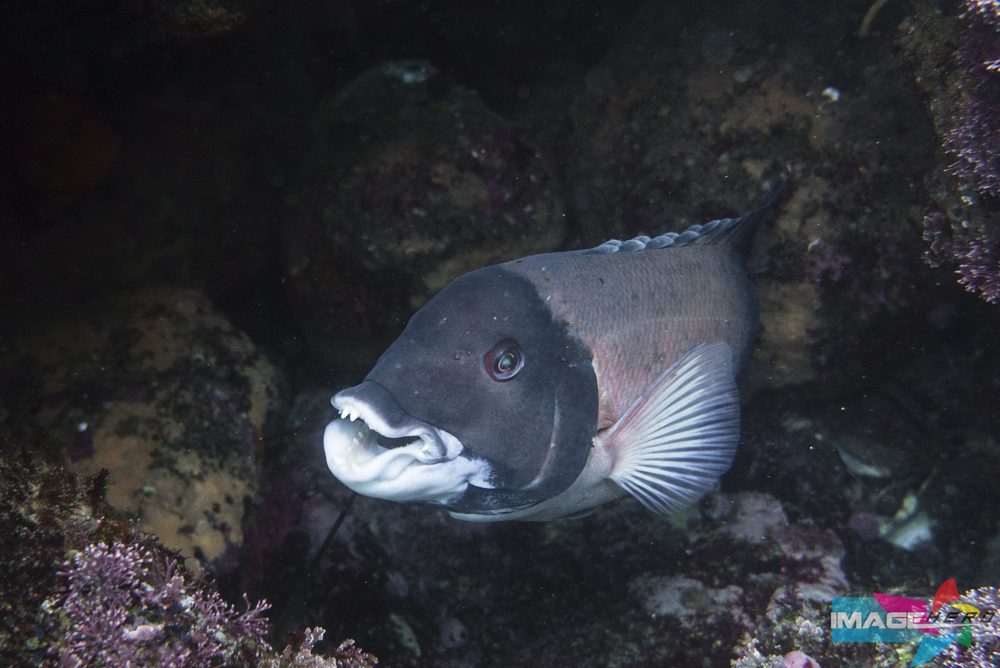 A Male Sheepshead.  Photograph by Jonathen E. Davis, Image Hero Shot with: Sony Alpha A7s at 1/320 sec f/5.6 ISO1250 24mm with Sony FE 24-70 F/4 Zeiss