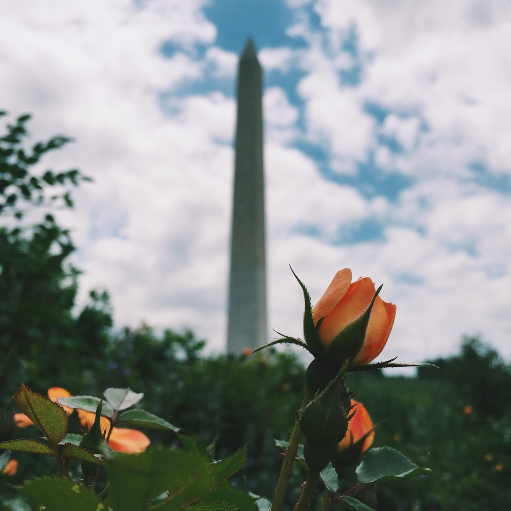 Pretty flower bush with the Washington Monument in the background.