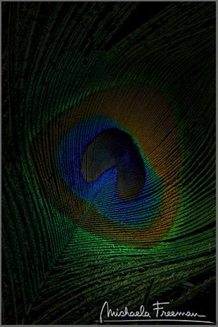 peacock-4.jpg