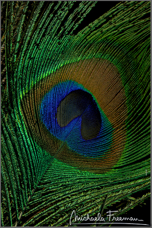 peacock-3.jpg