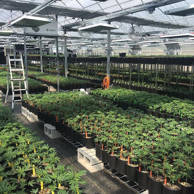 Goodmorning California! Keep an eye out this week for updates on available clones and teens for the 2019 growing season. We're so excited about this year's genetics and being a part of the Henry's Original family. #clones #mendocino #farmertofarmer #nursery #henrysoriginal #henrysoriginalhouse #cleangreencertified
