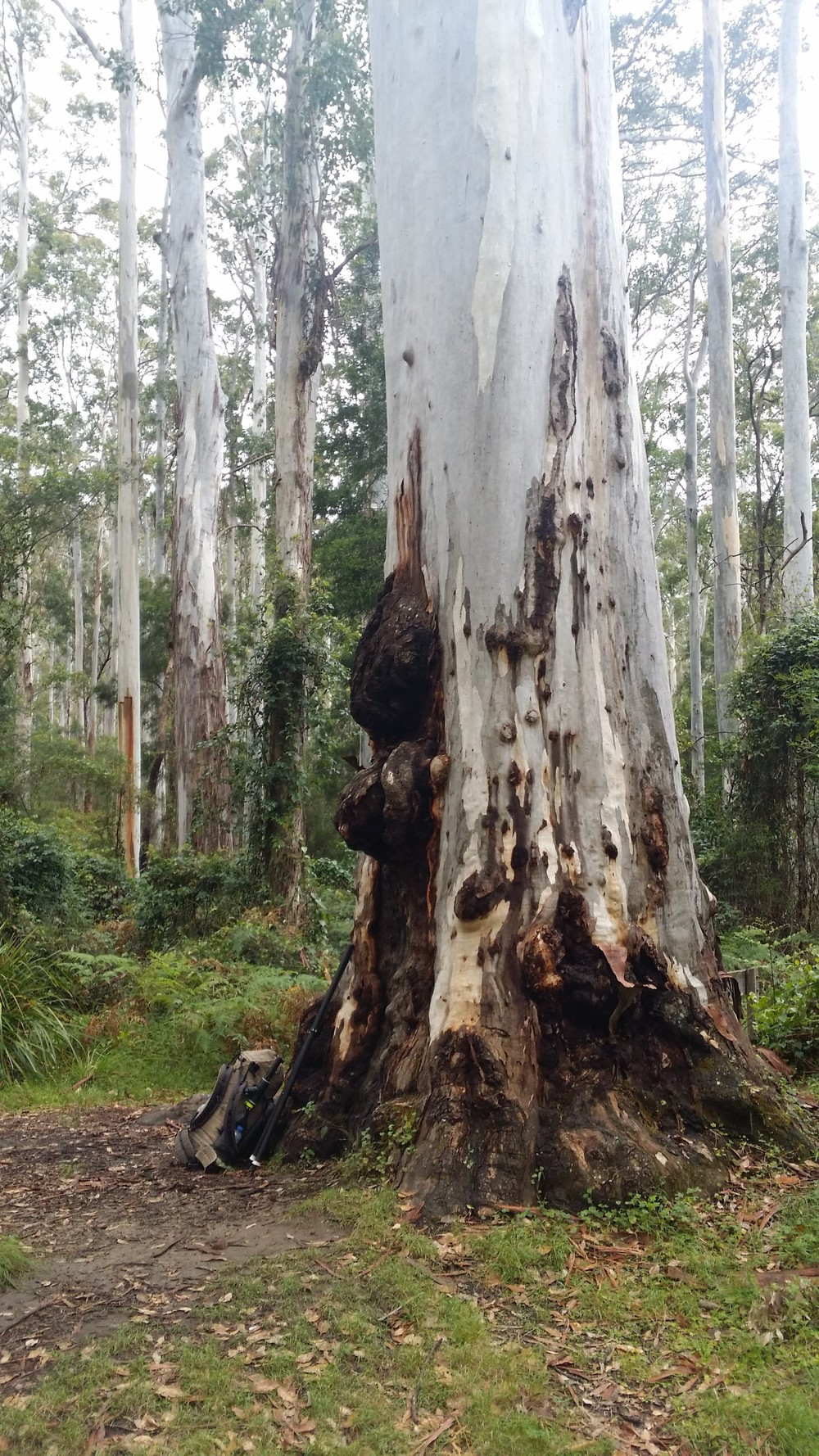 A very big Blue Gum
