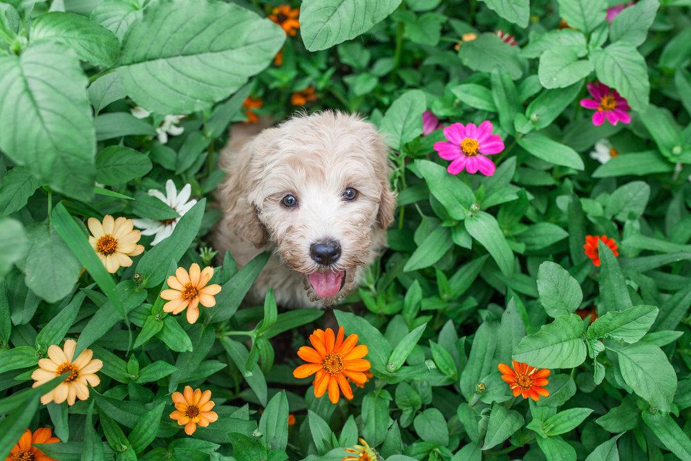 JuliaLindholmPhotos_Puppies10.jpg