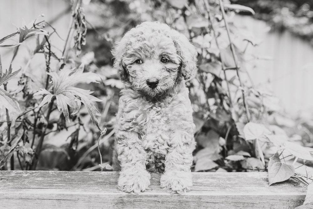 JuliaLindholmPhotos_Puppies13.jpg