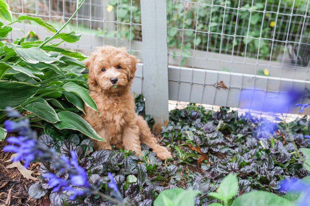 JuliaLindholmPhotos_Puppies27.jpg