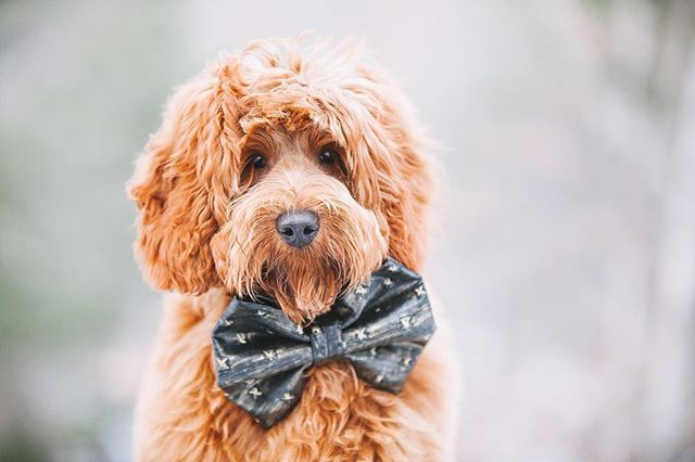 Oliver blessing ya feed with his cuteness #dogsinbowties