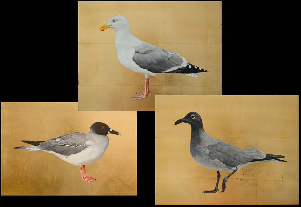 Herings-, Swallow tailed- and Lava-Gull