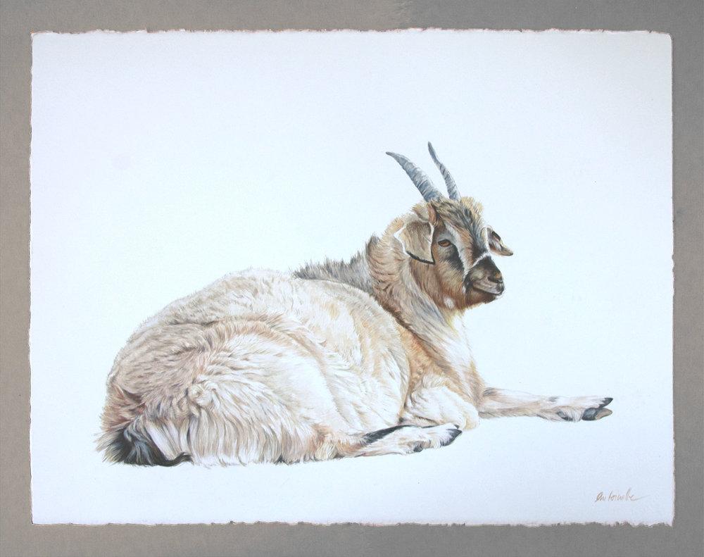 Mongolian Goat