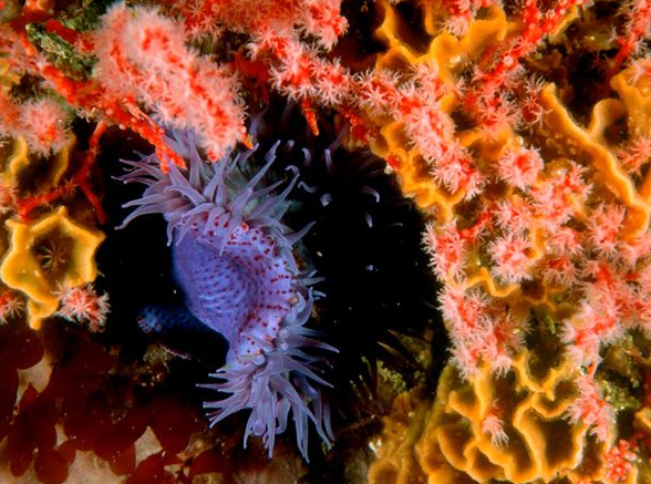 facts about the sea anemones Clownfish have evolved an ingenious though slimy way to use stinging anemones for their own protection.