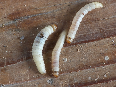 1200px-Achroia_grisella_caterpillars_kleine_wasmot_rupsen_(1).jpg
