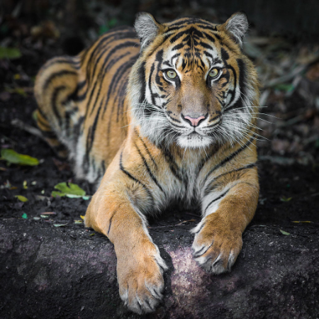 Indrah_the_Sumatran_Tiger.jpg