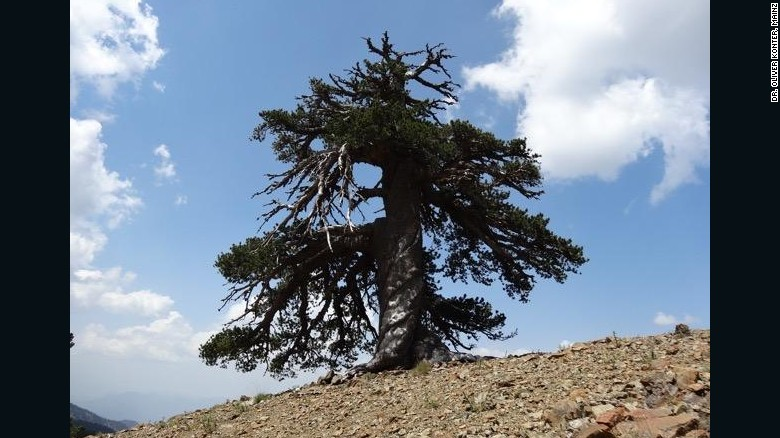 Meet Adonis, the 1075 year old Bosnian Pine that is a resident in the Pindos Mountains of Northern Greece.