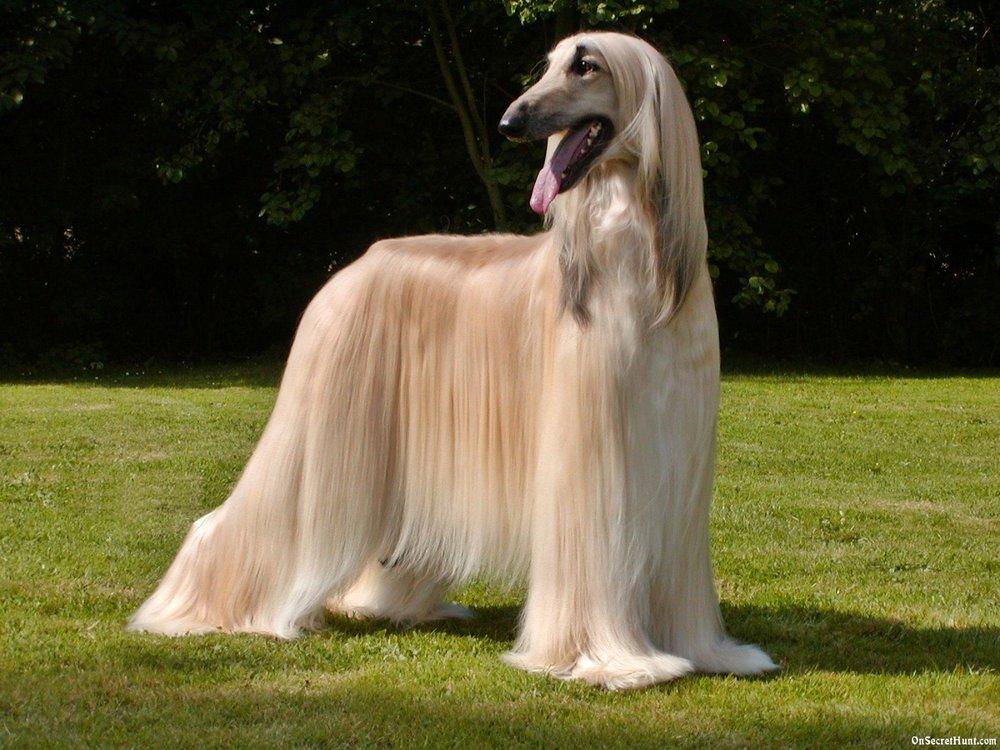 afghan-hound1.jpg