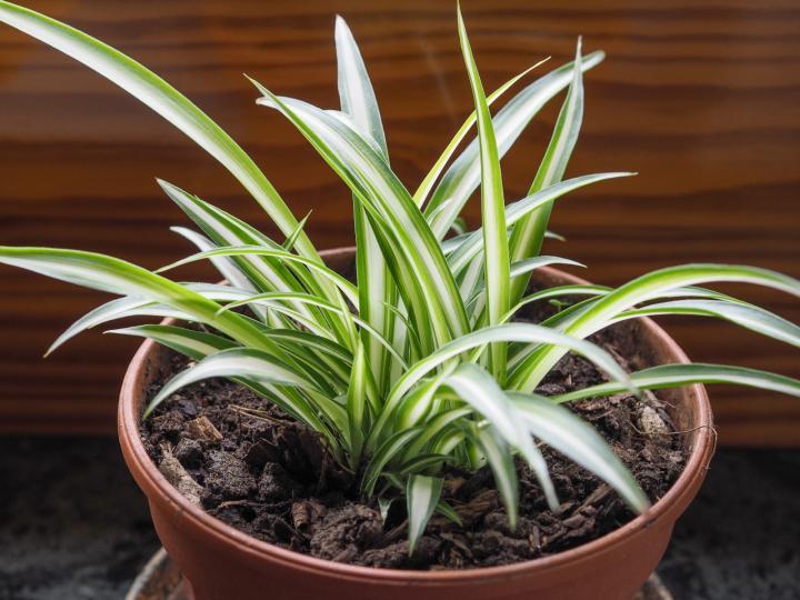 spider-plant_t50-ss.jpg