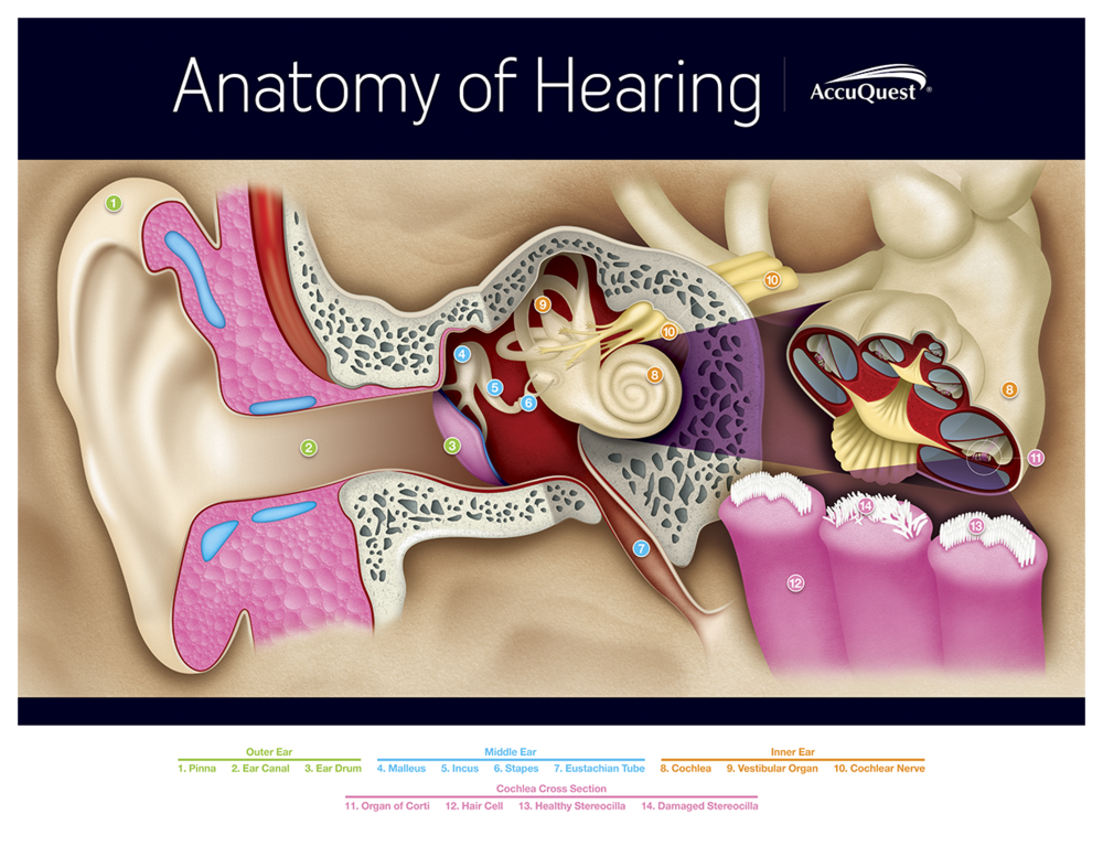 Accuquest Anatomy Of Hearing Illustration Jasonhufforddesign