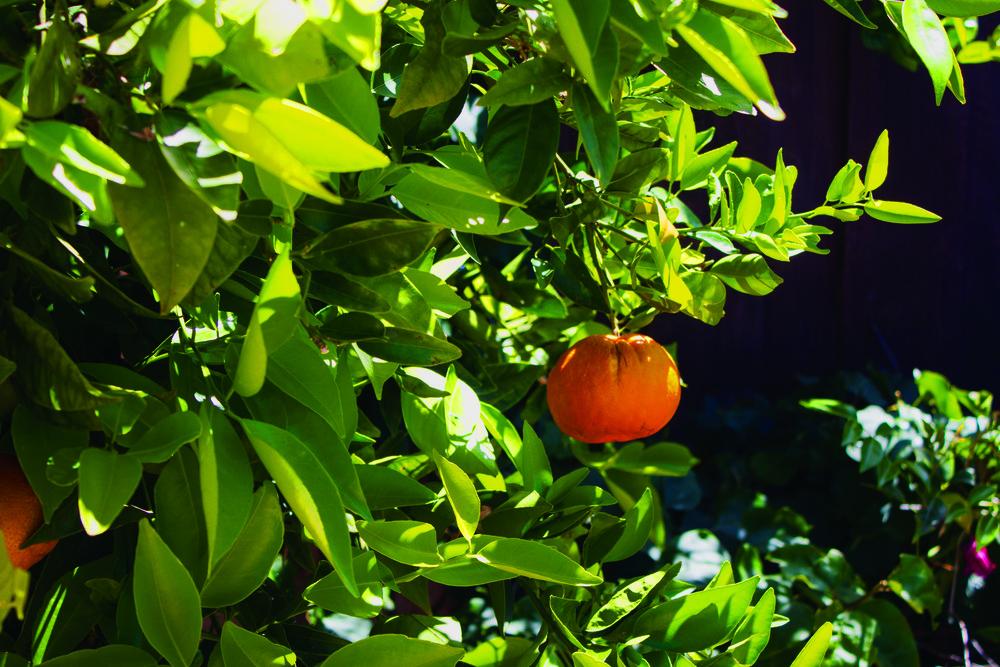 135_Orange_Tree.jpg