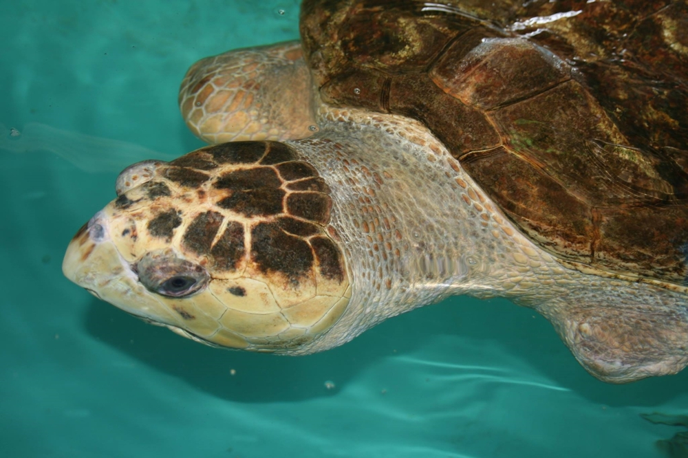 A sea turtle rehabilitating at Sea Turtle Inc.