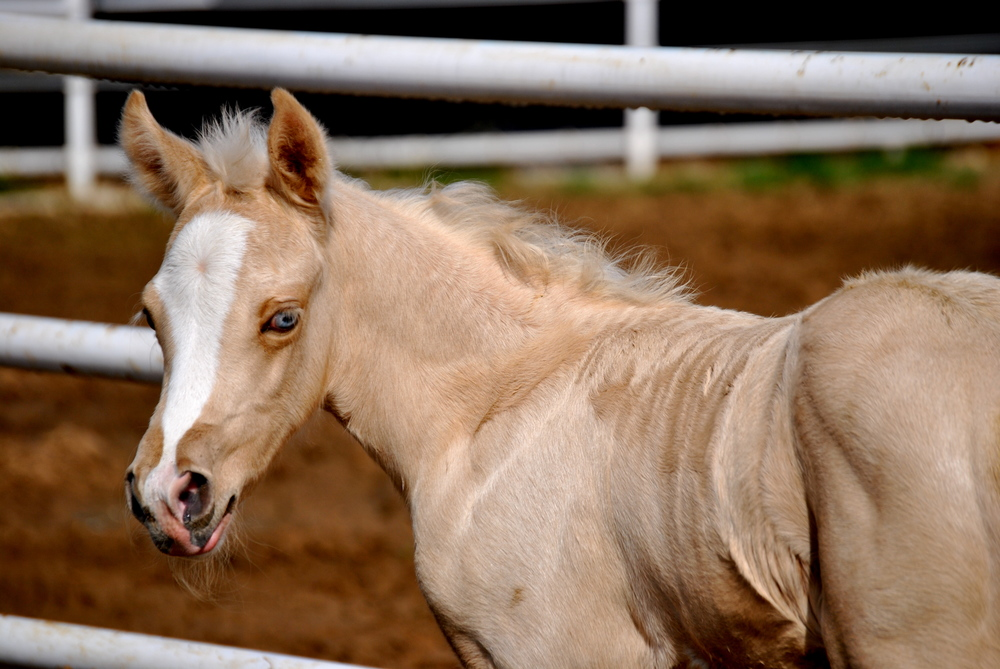 GTT x Shiners Crystal filly.JPG