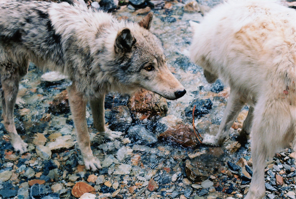 Wolves - Golden, British Columbia, CA    Ektar 100 - Olympus OM10