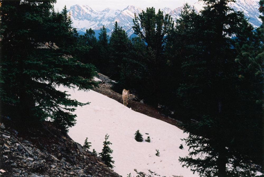 Lonely goat - Sulphur Mountain - Banff, CA    Ektar 100 - Olympus OM10