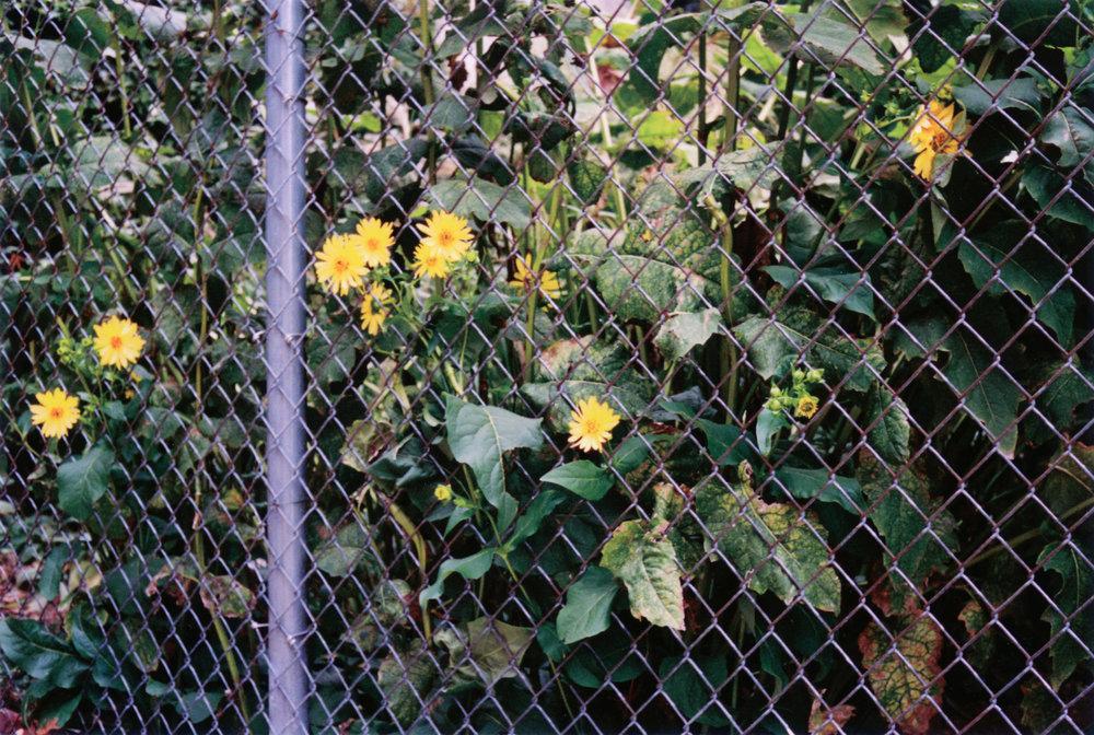 Bloom - Philadephia, PA    Portra 400 - Canonet, QL17 GIII