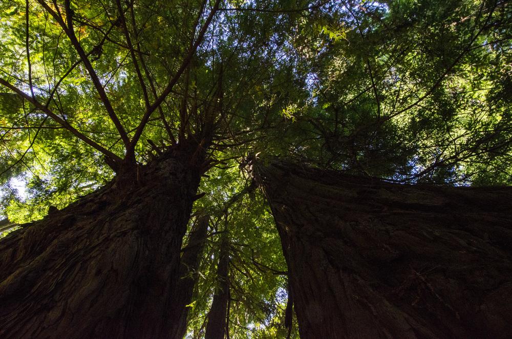 Redwoods Near Mendocino