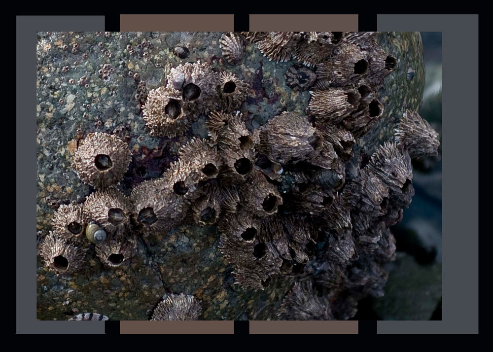 barnacle2.jpg