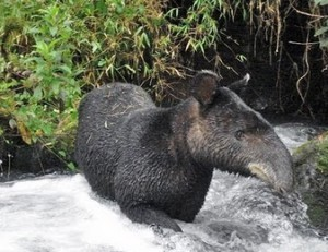 The mountain tapir is one of the many animals that will benefit from the additional acreage of conserved lands.