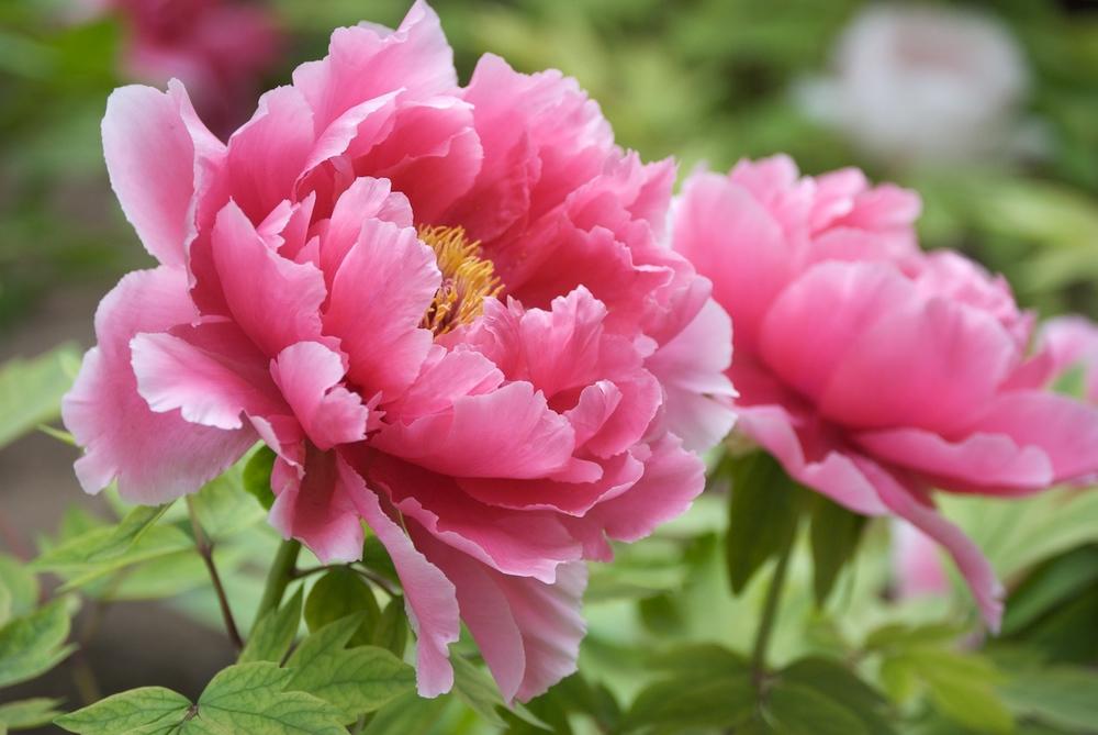stockvault-pink-tree-peony105581.jpg