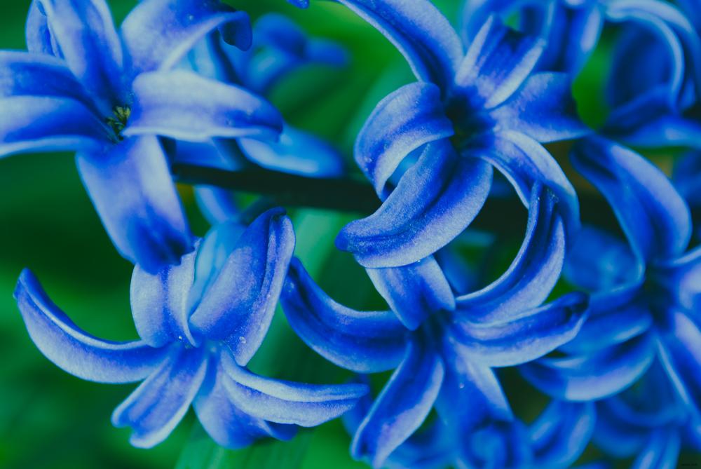 MACRO | Bluebell