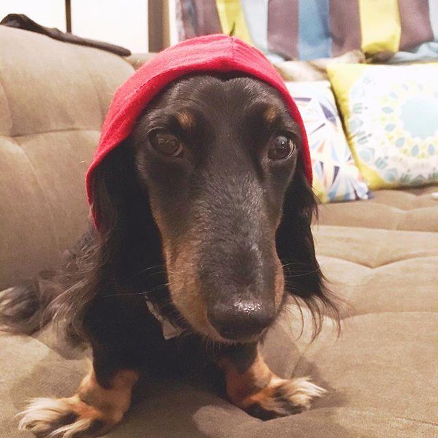 Staring contest.  Zeke-✔️Me-🚫 #dachshundsofinstagram