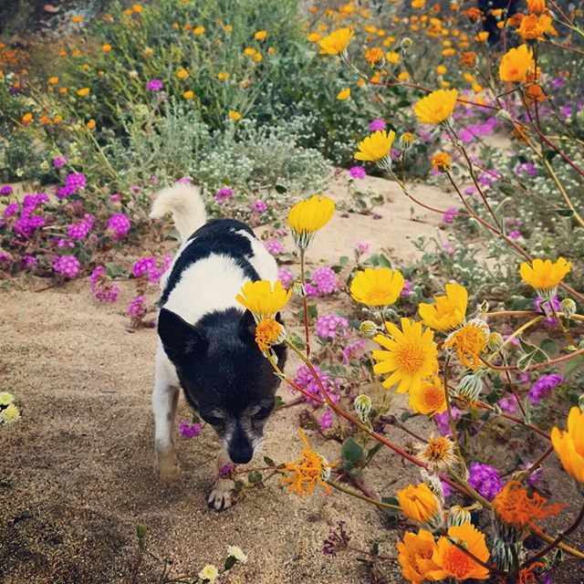 Zoe has always been feminine and petite. One of my favorite things about her is how much she loves to smell flowers. She was in heaven on our trip to see the super bloom in Anza Borrego, seeing spring in the desert is pretty magical.