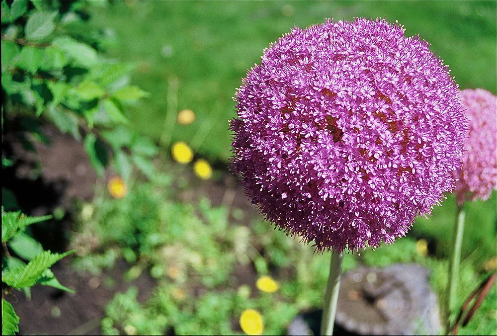 giant allium close up leelo.jpg