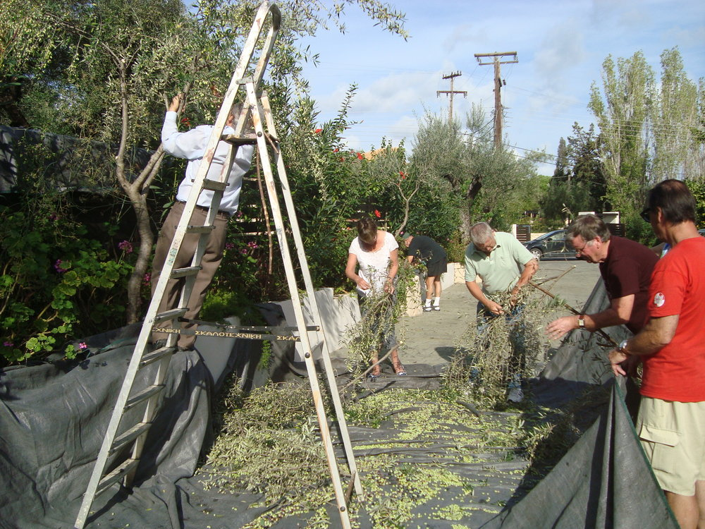 Green Activities _Guests participating at olive picking 2.JPG