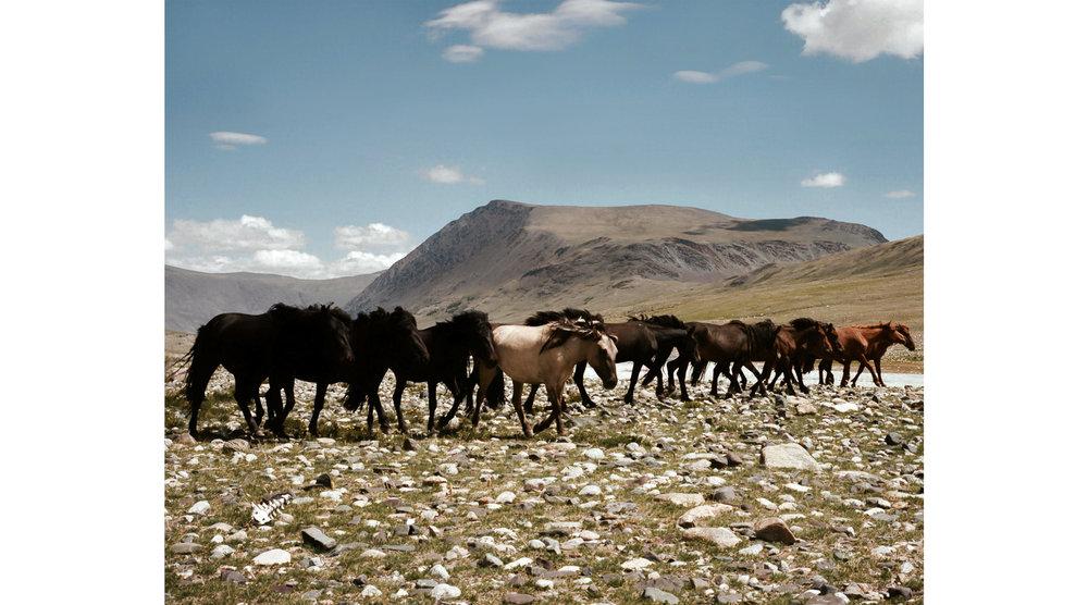 Wild horses, Mongolia 2017