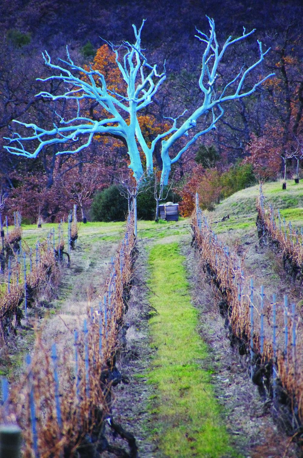 Chêne-Bleu-Blue-Oak-1 (2).jpg