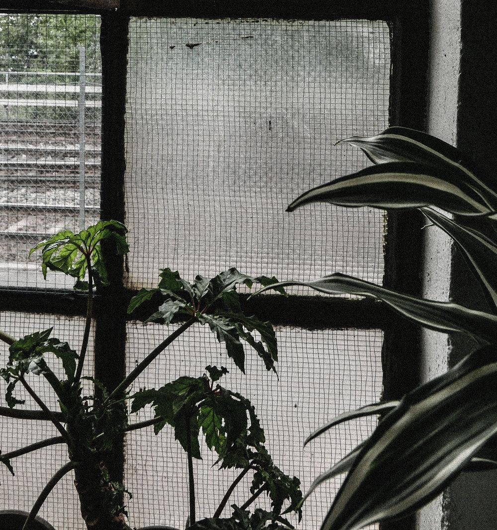 passiflora_vindu.jpg