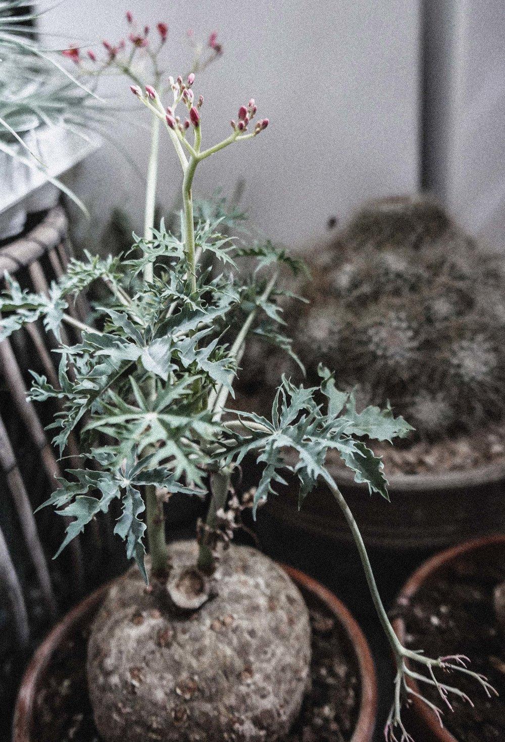 passiflora_gront4.jpg