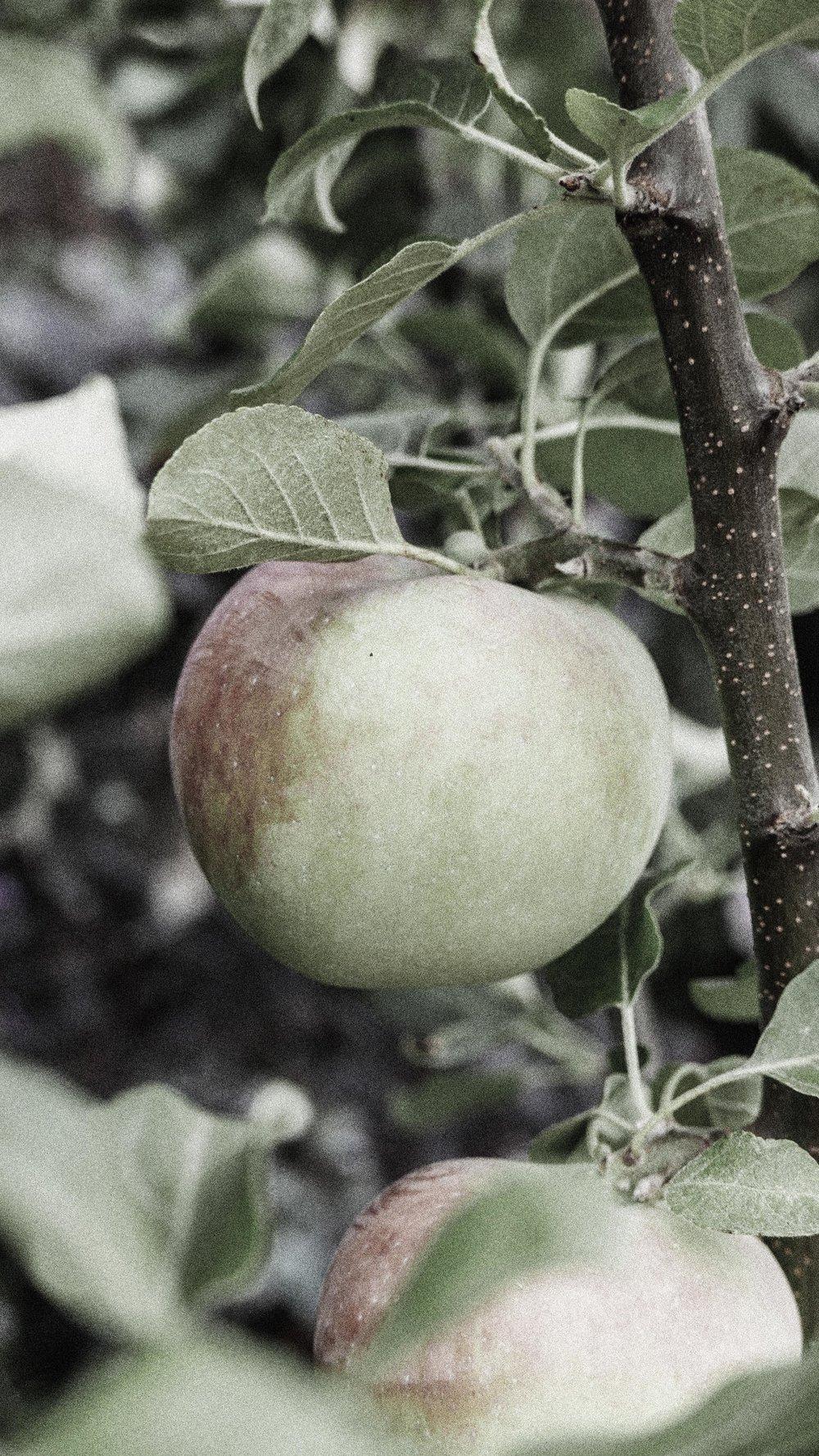 passiflora_11.jpg