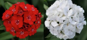 2 color change only -   SCARLET AND WHITE DIANTHUS -