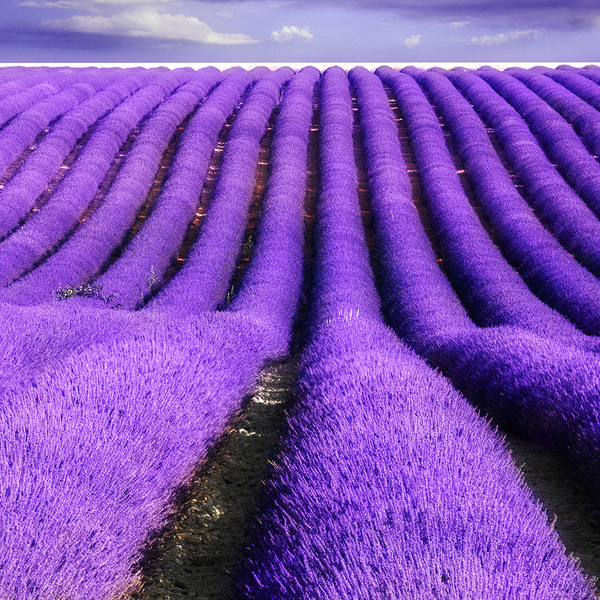 Beautiful-Lavender-Fields-Of-France4.jpg