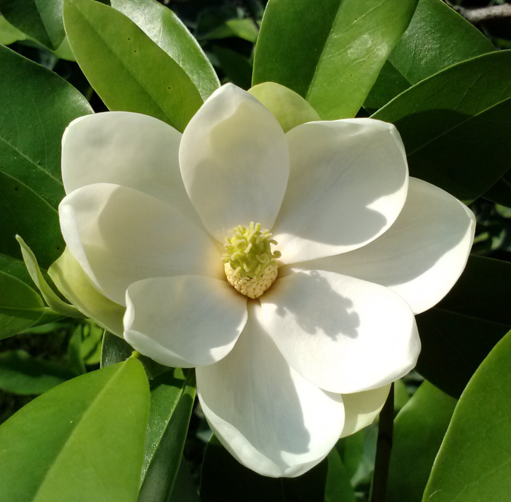Our native Sweetbay Magnolia
